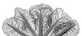 Crest cabbage (Brassica sp.), X-ray