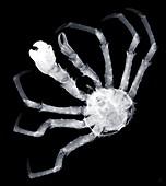 Spider crab (Maja squinado), X-ray