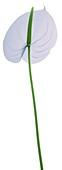 Pastel blue lily (Anthurium sp.), X-ray