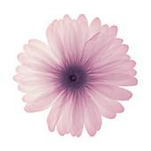 Pink daisy, X-ray