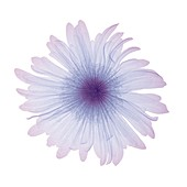 Violet flower, X-ray