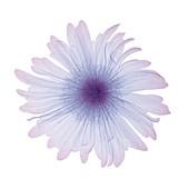 Violet flower, X-ray