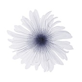 Flower, X-ray