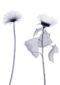 Two sunflowers, X-ray