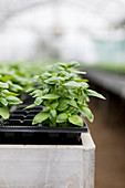 Young basil plants in a green house