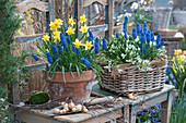 Frühlings-Arrangement mit Narzissen, Traubenhyazinthen und Milchstern, Birkenzweige, Steckzwiebeln und Handschaufel als Deko