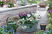 Frühlingsterrasse : Blechwanne mit Goldlack 'Winter Orchid', Milchstern, Primeln, Tausendschön und Lungenkraut 'Trevi Fountain'