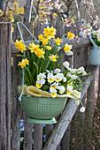 Küchensieb bepflanzt mit Narzissen, Hornveilchen und Traubenhyazinthen an Gartenzaun
