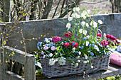 Korbkasten mit weißer Schachbrettblume, Traubenhyazinthen, Ranunkeln, Milchstern, Hornveilchen und Tausendschön