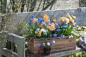 Holzkasten mit Primeln, Traubenhyazinthen, Hornveilchen und Strahlenanemone auf Bank im Garten