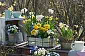 Frühlings-Arrangement : Narzissen, Primeln, Hornveilchen, Traubenhyazinthen und Strahlenanemone