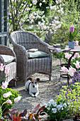Kiesterrasse mit Korbsesseln umgeben von Felsenbirne, Tulpen, Wolfsmilch, Hornveilchen und Goldlack, Hyazinthe im Topf auf dem Tisch, Hund Zula
