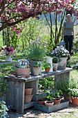 Blühender Schnittlauch, Hornveilchen und Jungpflanzen von Kapuzinerkresse, Tomaten und Paprika, Frau kommt mit Gießkanne