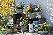 Frühlingsterrasse mit Primeln, Hornveilchen, Tausendschön, Vergißmeinnicht und Traubenhyazinthen