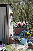 Holzkästen mit Tulpe 'Toplips', Hornveilchen, Traubenhyazinthen, Strahlenanemone, Vergißmeinnicht 'Myomark' und Primel Belarina 'Mandarin', Topf mit Goldlack Poem 'Lavender' am Gerätehaus