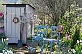 Gerätehaus im Garten, Zierkirsche 'Kojou no mai', Tulpen in Körben, Obststiege mit Samentüten, Spaten und Hacke, Stühle