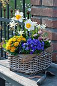 Bunter Frühlingskorb mit Blaukissen, Primel Belarina 'Mandarin', Narzissen, Hyazinthe und Tausendschön