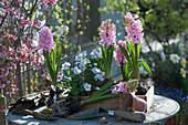 Holzkiste mit Hyazinthen und Hornveilchen bepflanzen