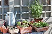 Gemüse und Blumen Jungpflanzen mit Rosmarin