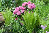 Schattenbeet mit Rhododendron yakushimanum 'Morgenrot', Straußfarn