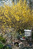 Blühendes Goldglöckchen im Garten, Zinkeimer als Osternest, Gartenstuhl, Korb mit Utensilien und Spaten