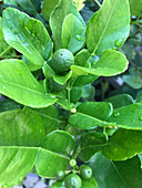 Kaffir limes on a tree