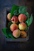Wachauer Marillen (Wachau apricots) with leaves in a wooden crate