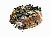 Macagnetta alla Vinaccia (Grappa-Käse, Italien)