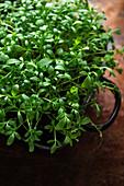 Garden cress (Lepidium sativum)