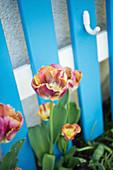 Rot-gelbe Fransentulpen vor blauem Gitter
