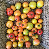Heirloom tomatoes in a basket
