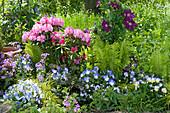 Beet mit Rhododendron 'Polaris', Hornveilchen 'Blue Moon', Clematis 'Rouge Cardinal', Farn und Silberblatt
