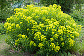 Blühende Gold-Wolfsmilch im Garten