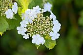 Blüte vom gewöhnlichen Schneeball