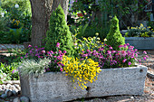 Steintrog bepflanzt mit Goldlack, Ginster, Honiggras und Zuckerhutfichten