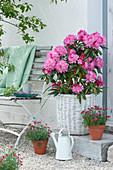 Rhododendron 'Polaris' im Korb und Töpfe mit Nelken Summer Diamonds 'Dark Red'