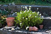 Schleifenblume wächst in Fugen der Steintreppe