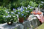 Tontöpfe mit Hornveilchen 'Blue Moon' auf der Gartenmauer, Tablett mit Krug und Gläsern