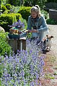 Beet mit blühender Katzenminze, Zierlauch und Buchs, Hund Zula, Frau schneidet Blüten