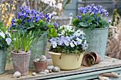 Frühlingsdeko mit Duftveilchen, Traubenhyazinthe, Hornveilchen und Milchstern, leere Schneckenhäuschen als Deko