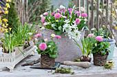 Frühlingsdeko mit Tausendschön, Traubenhyazinthen, Milchstern und Moossteinbrech