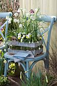 Holzkiste mit Schachbrettblumen und Hornveilchen 'Sunny Side Up'
