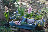 Frühling im Garten mit Hyazinthen, Narzissen 'Toto', Strahlenanemone zum Einpflanzen