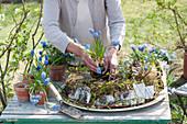 Frau pflanzt Traubenhyazinthen in Kranz aus Moos und Birkenrinde, Weidenzweige herumgelegt