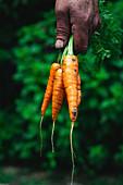 Old gardener holding carrots