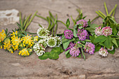 Different types of clover (wound clover, white clover, red clover, Swedish clover)