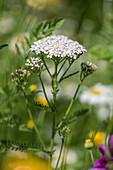Yarrow (achillea millefolium ssp. millefolium)