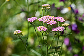 Sudeten Yarrow (A. millefolium ssp.sudetica)