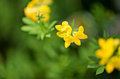 Common bird's-foot trefoil (lotus corniculatus)