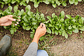 Harvesting arugula leaves in a vegetable patch